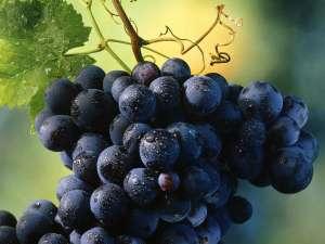 vinograd2