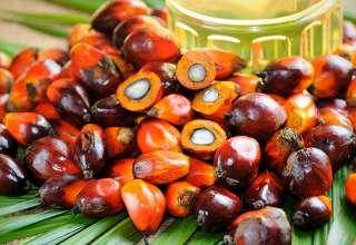 Плоды масленичной пальмы