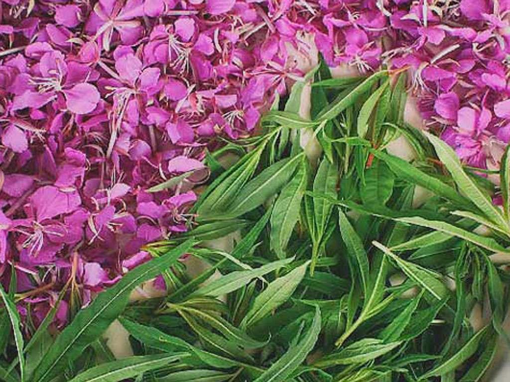 Лечебные свойства иван-чая