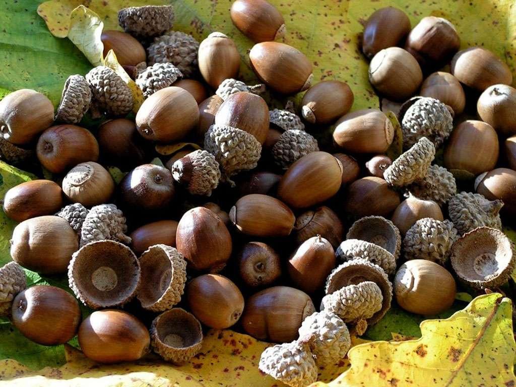 Лечебные свойства коры дуба и желудей