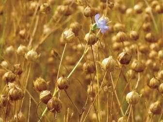 Лечебные свойства льна и семян льна