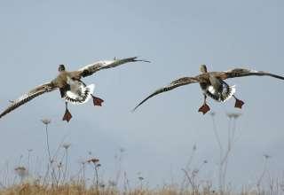 Охота на гуся в Рязани и Рязанской области 2018